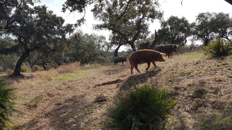 Wild Iberian pigs.