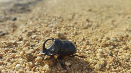 Stag beetle.